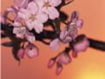桜前線ってなに?開花って誰が決めるの?