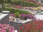 約8000平方メートルの園内に咲く1万本のバラ