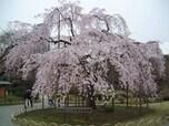夜桜見学の後はテーマパークで夜遊びも!【小石川後楽園】