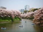 舗装されていない道を桜を見ながら歩く「千鳥ヶ淵緑道」(千代田区)