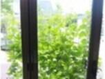 失敗しない、緑のカーテンの作り方2