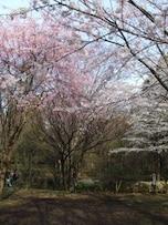 静かな雰囲気で桜を見られる「北の丸公園」