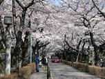 東京のオススメ花見スポットは「早朝の青山墓地」