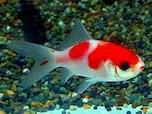 金魚の種類