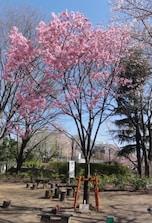 いろいろな種類の桜が楽しめる「上池袋さくら公園」