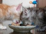 猫の夏バテ対策、重要なのは食事