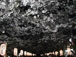 段葛(だんかずら) 妖艶な夜桜