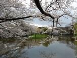鶴岡八幡宮の源氏池 美しい桜の「おもてなし」