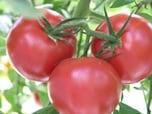 トマトを育てるコツ