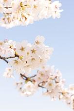 【ちょっと上級編】英語で伝える桜のお花見と日本文化