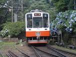 【箱根】初夏を彩るあじさい電車(箱根登山鉄道)
