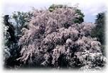 65種類、600本もの桜が咲く「神代植物公園」