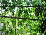 つる性植物で「緑のカーテン」をつくる