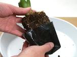 芽出し球根をガラスポットに移し替える方法