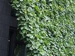 緑のカーテンにオススメの植物