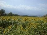 明野のひまわり畑/山梨・明野