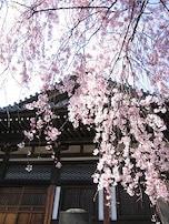 春の谷根千は桜だらけ!
