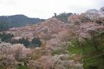吉野山の桜/奈良