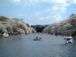 デートの定番でボートからお花見、「井の頭恩賜公園」(武蔵野市)