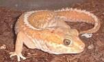英語で「Gecko(ゲッコー)」と呼ばれるのもヤモリの仲間