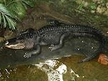 """""""フロリダ州では1946年から2006年までの間に19人が本種により襲われて命を落としている"""""""