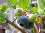 自家栽培の味を楽みたい果樹