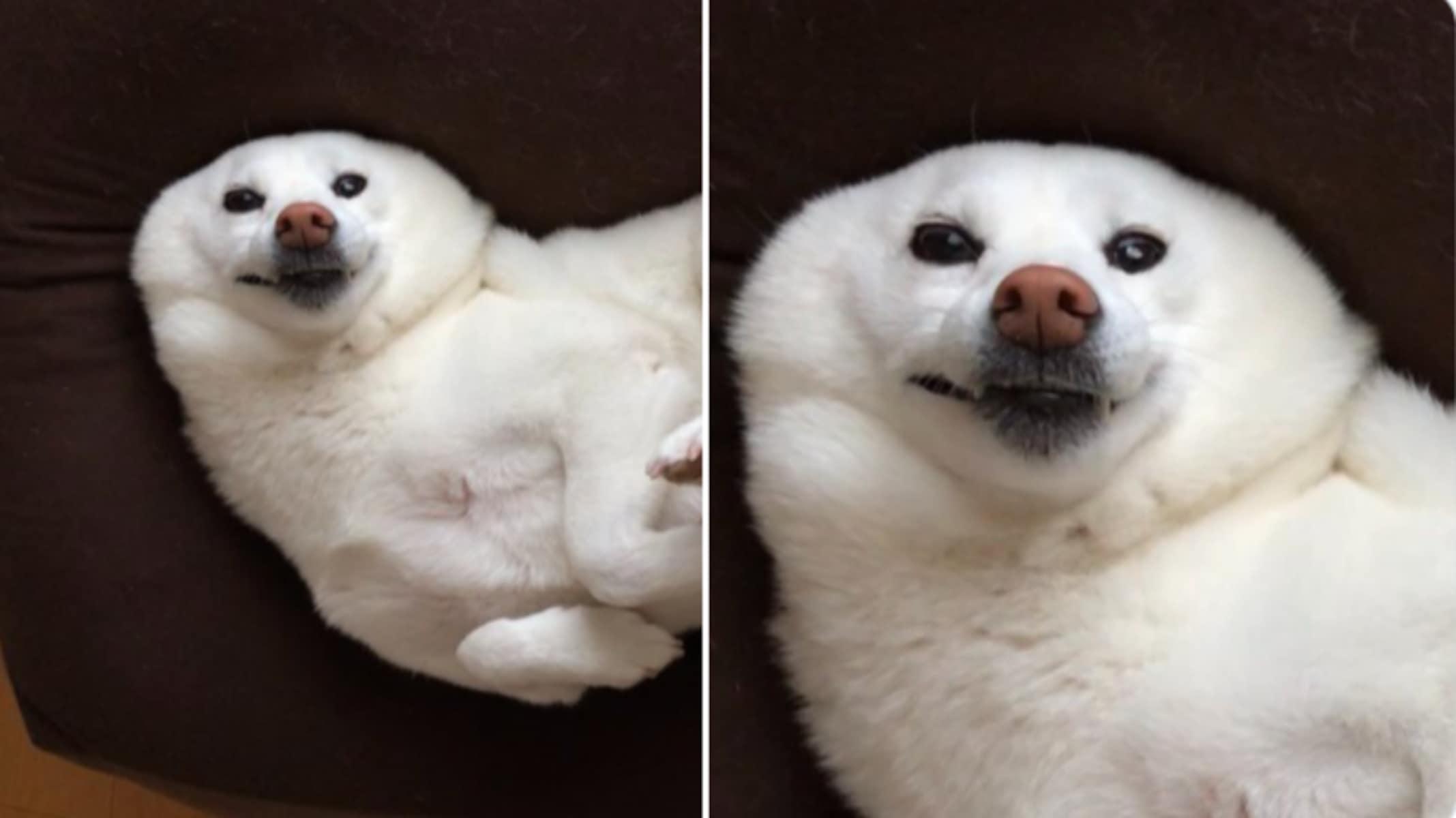 新種のアザラシか?! 耳がすっぽり隠れた犬の写真が可愛すぎると話題に