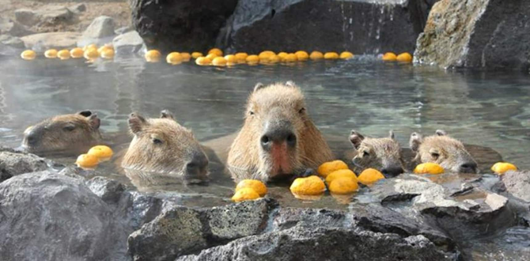 Adorable Capybara Hot Springs