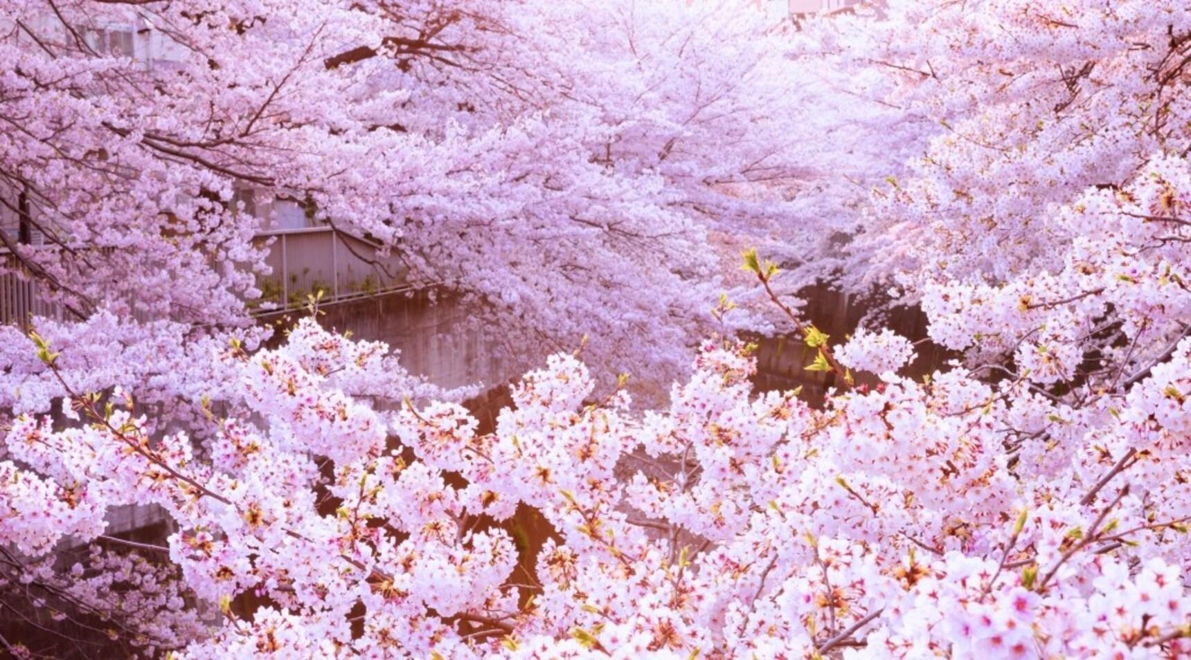 จุดชมซากุระยอดฮิตจาก 10 ภูมิภาคทั่วญี่ปุ่น