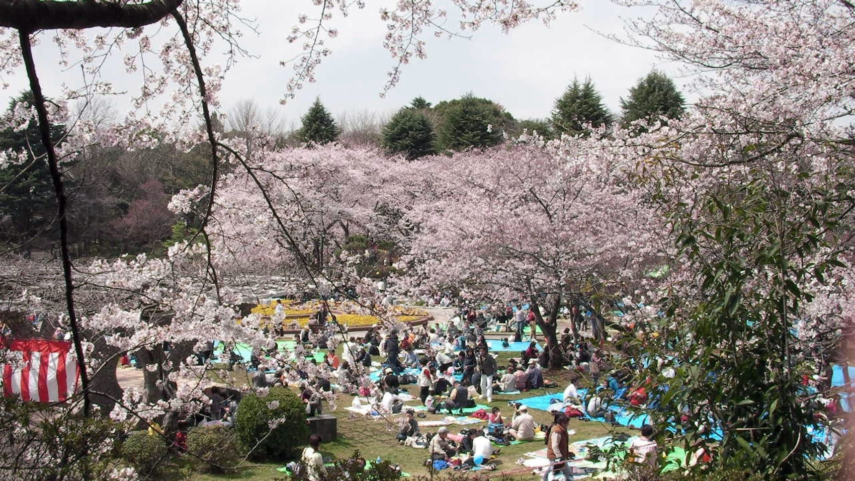 How to 'Hanami' Like A Pro