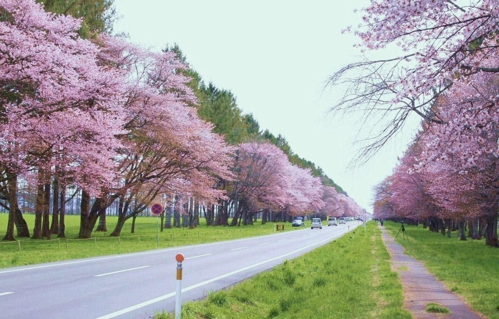 北海道二十间道路樱花道,在落樱时节释放绵长的美丽