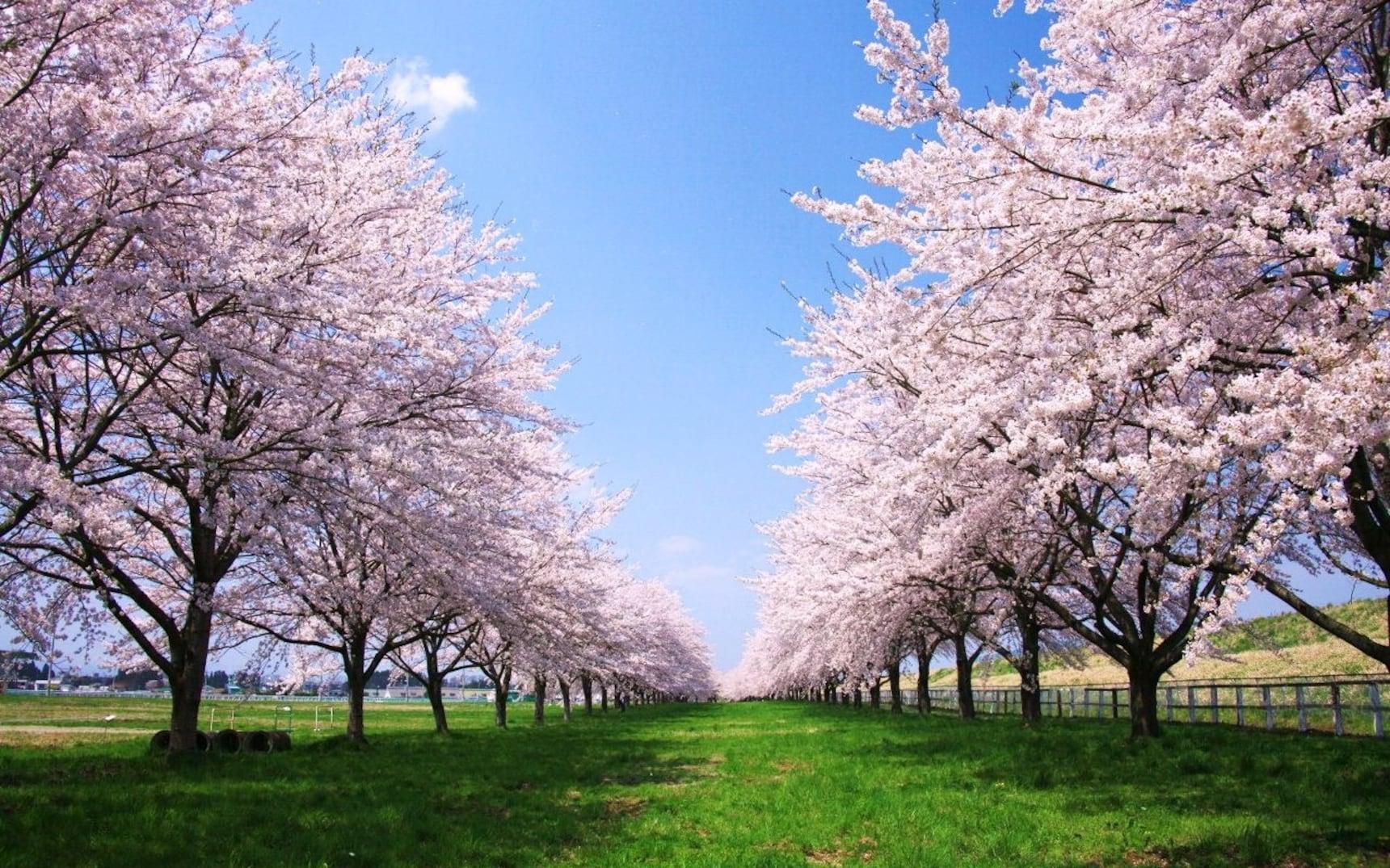 领略日本五大名樱的风采
