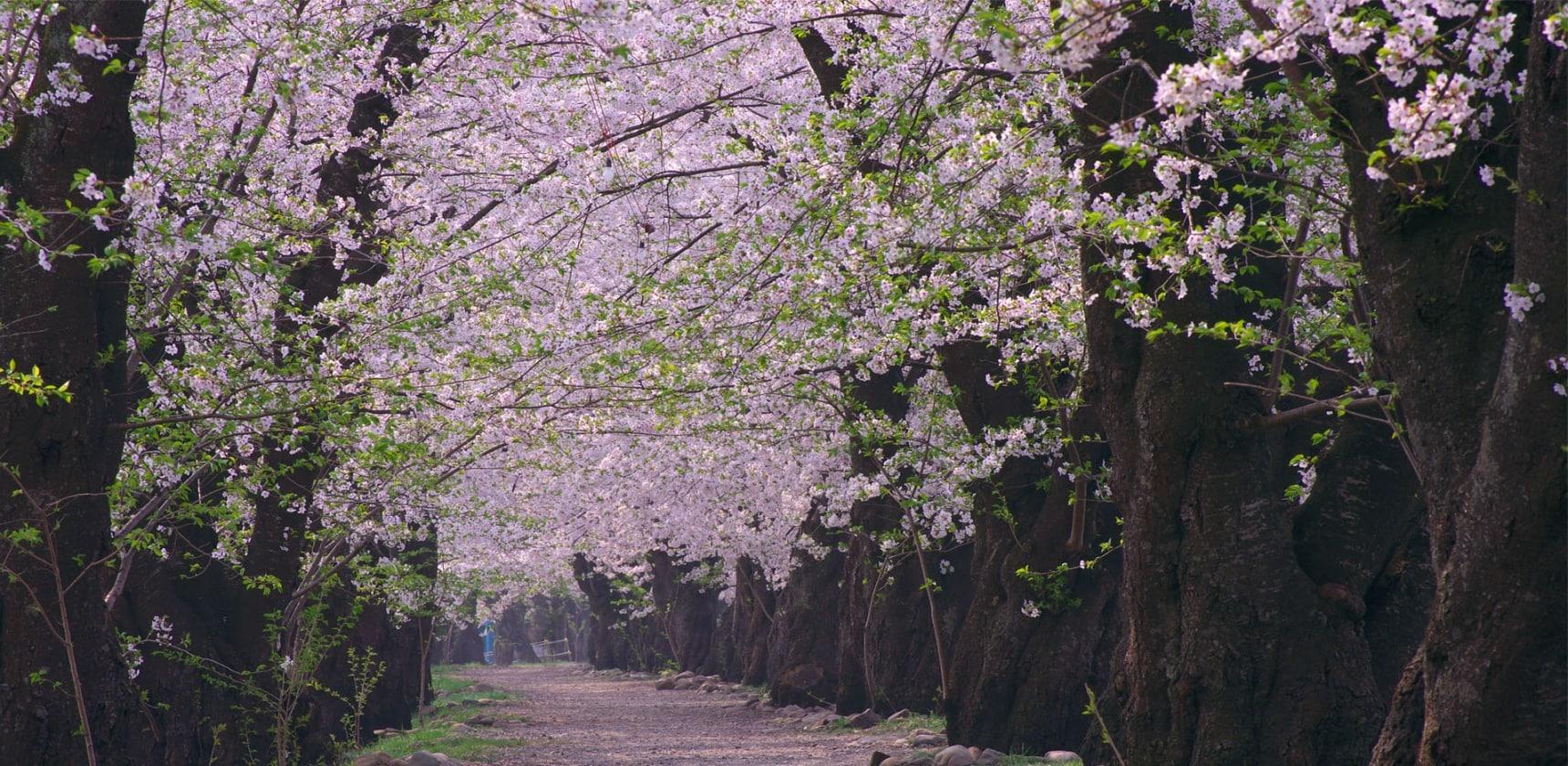 日本赏樱人数Top5的五大赏樱地