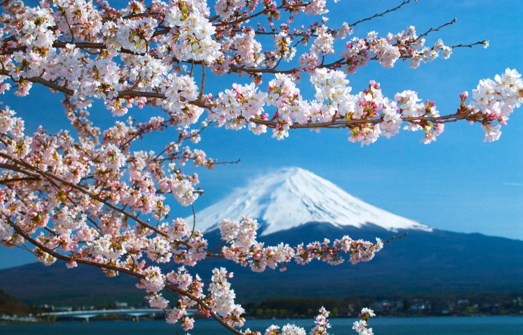 日本樱花树数量Top5的五大赏樱地