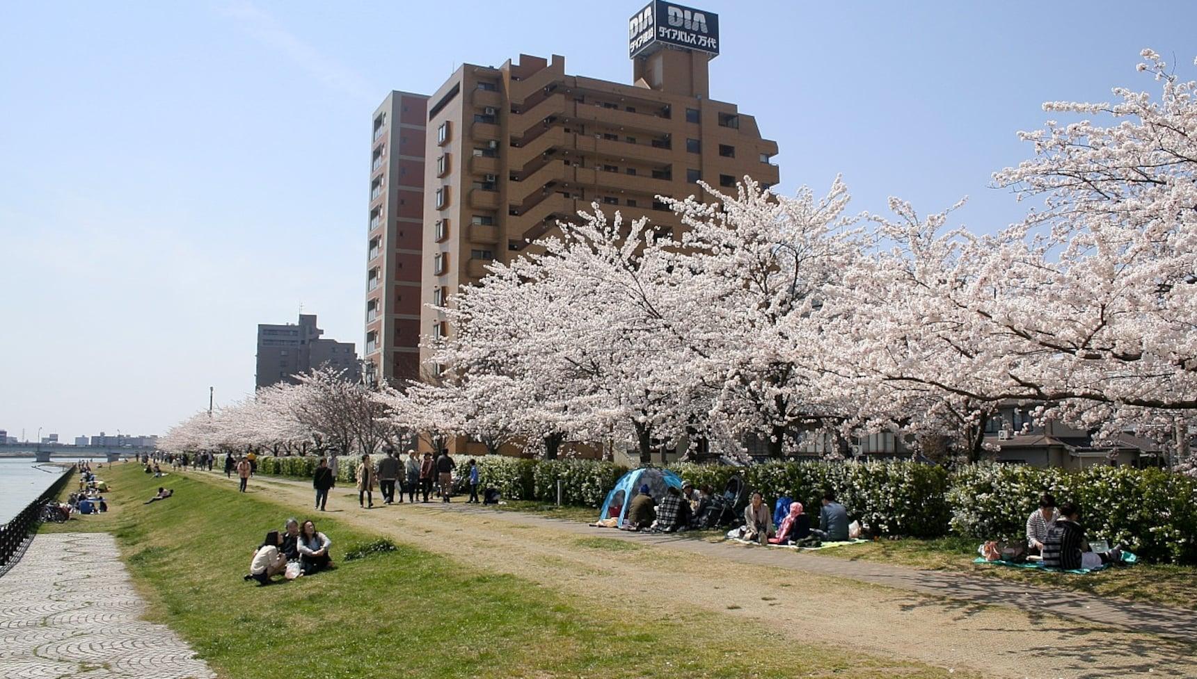 信浓川边赏樱花,看日本第一大河和樱花交相辉映