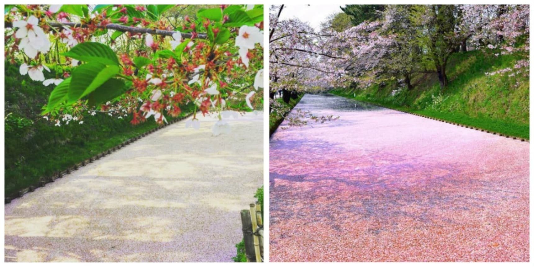 These Sakura Petals Float on a Moat