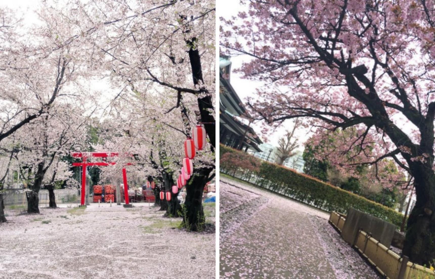 Tokyo's Final Photos of the Sakura Season?