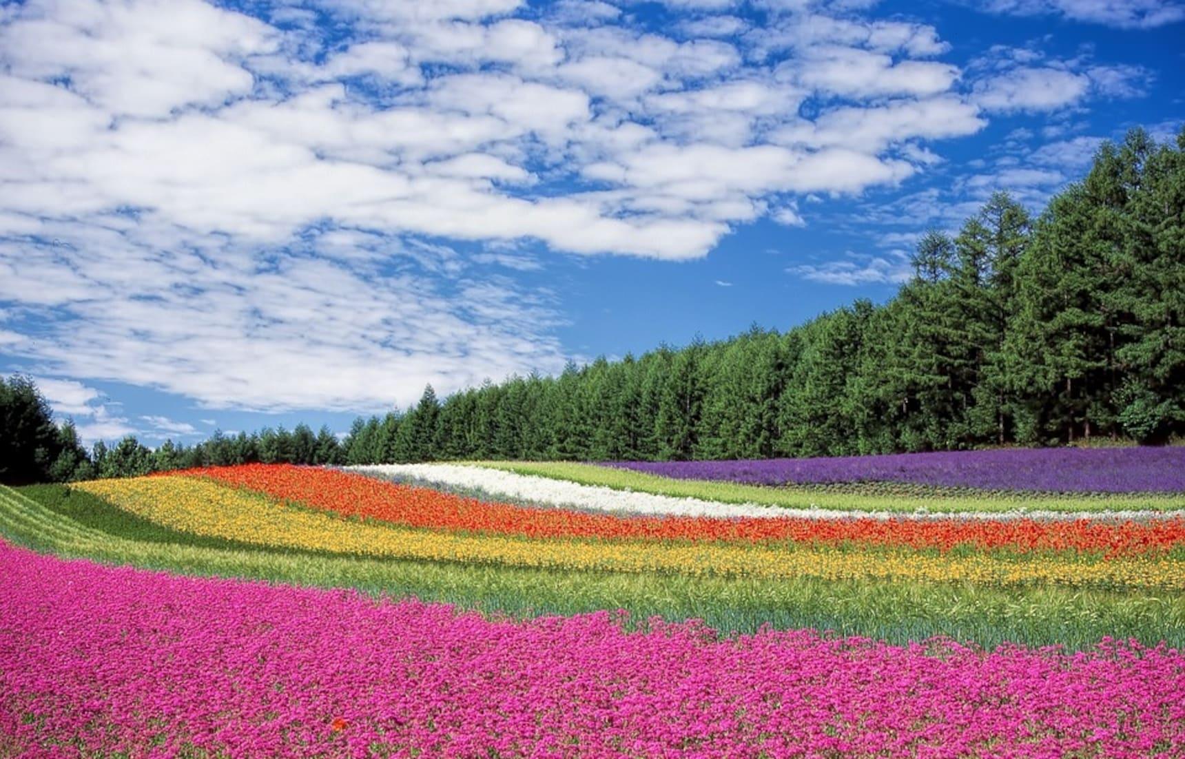 Hokkaido's Gorgeous Summer Flower Fields