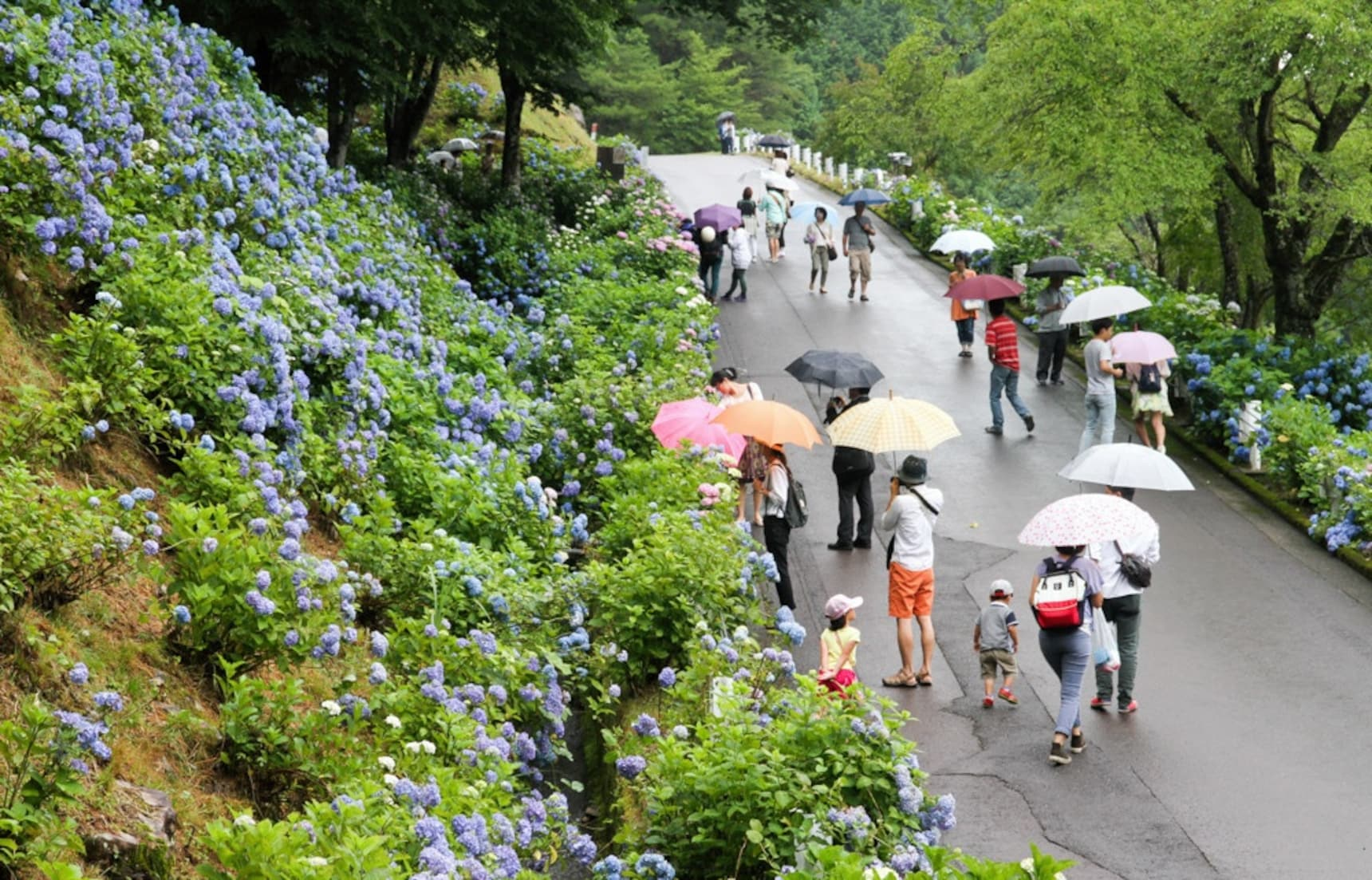 Gifu's Colorful Hydrangea Road