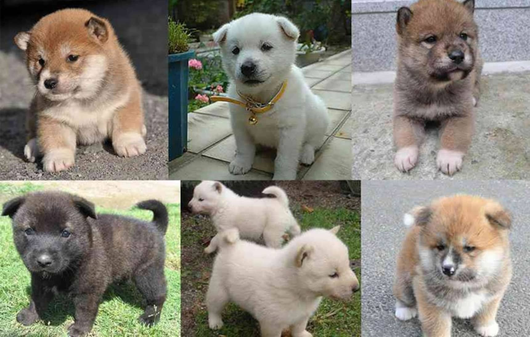 รู้รอบเรื่องหมาญี่ปุ่น ชิบะอินุ