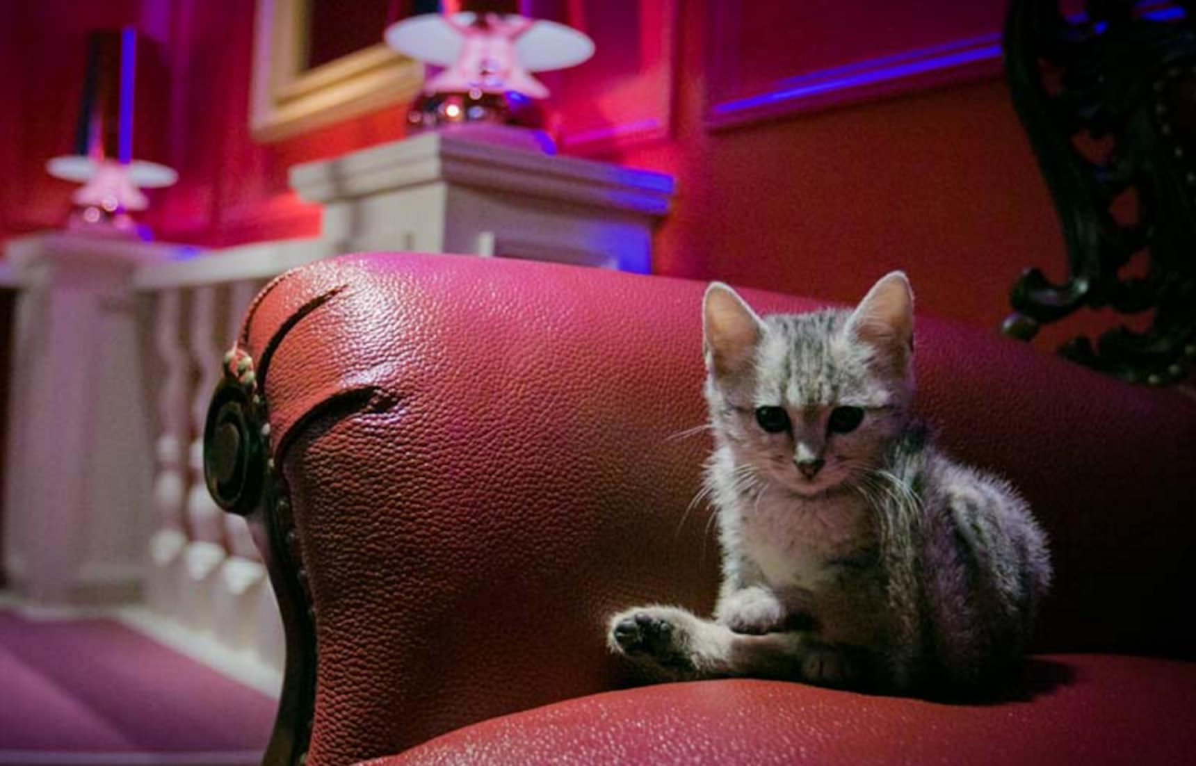 2nd Luxurious Cat Café Branch Open in Harajuku