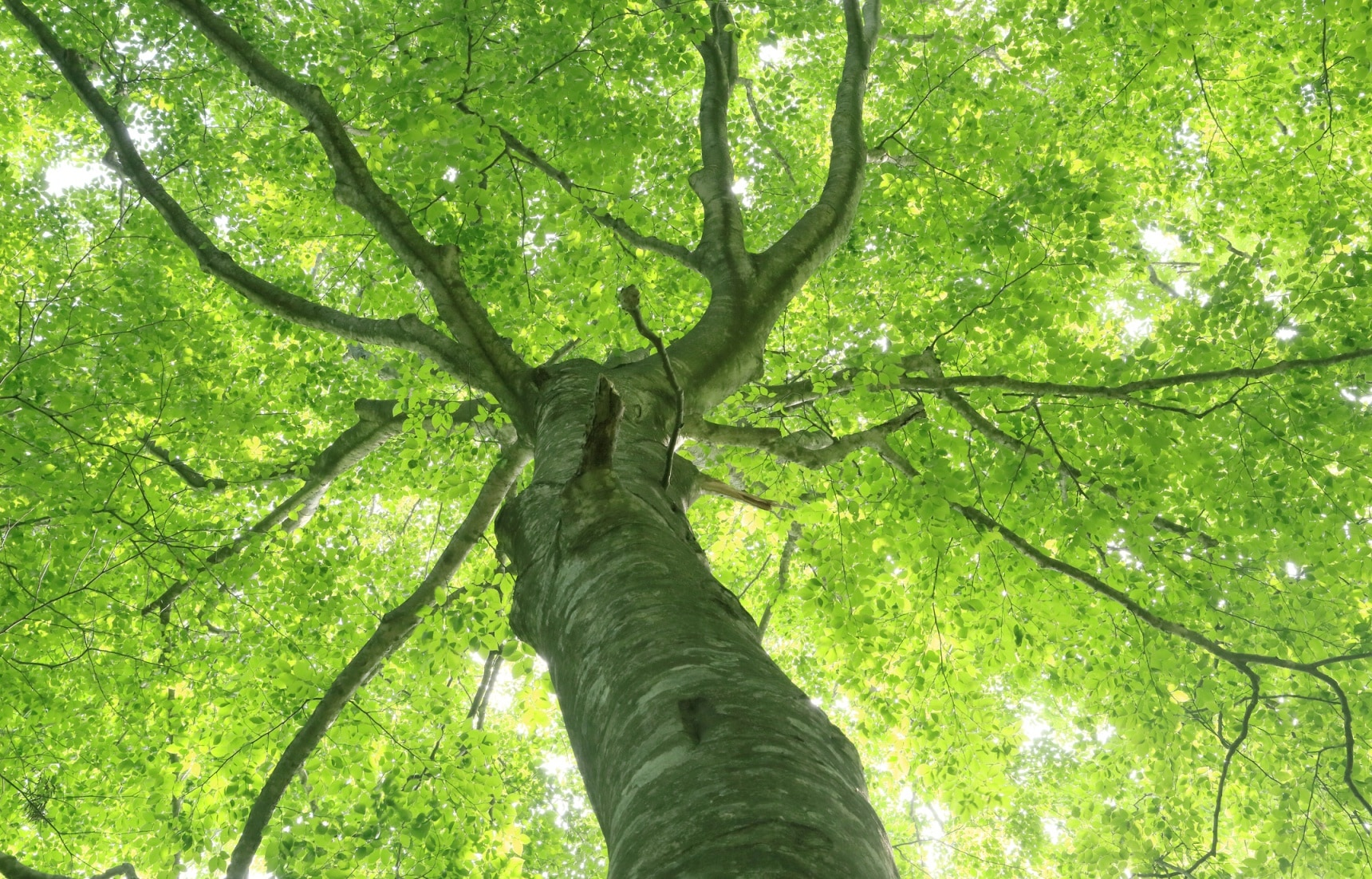 The Oldest Beech Trees in Asia
