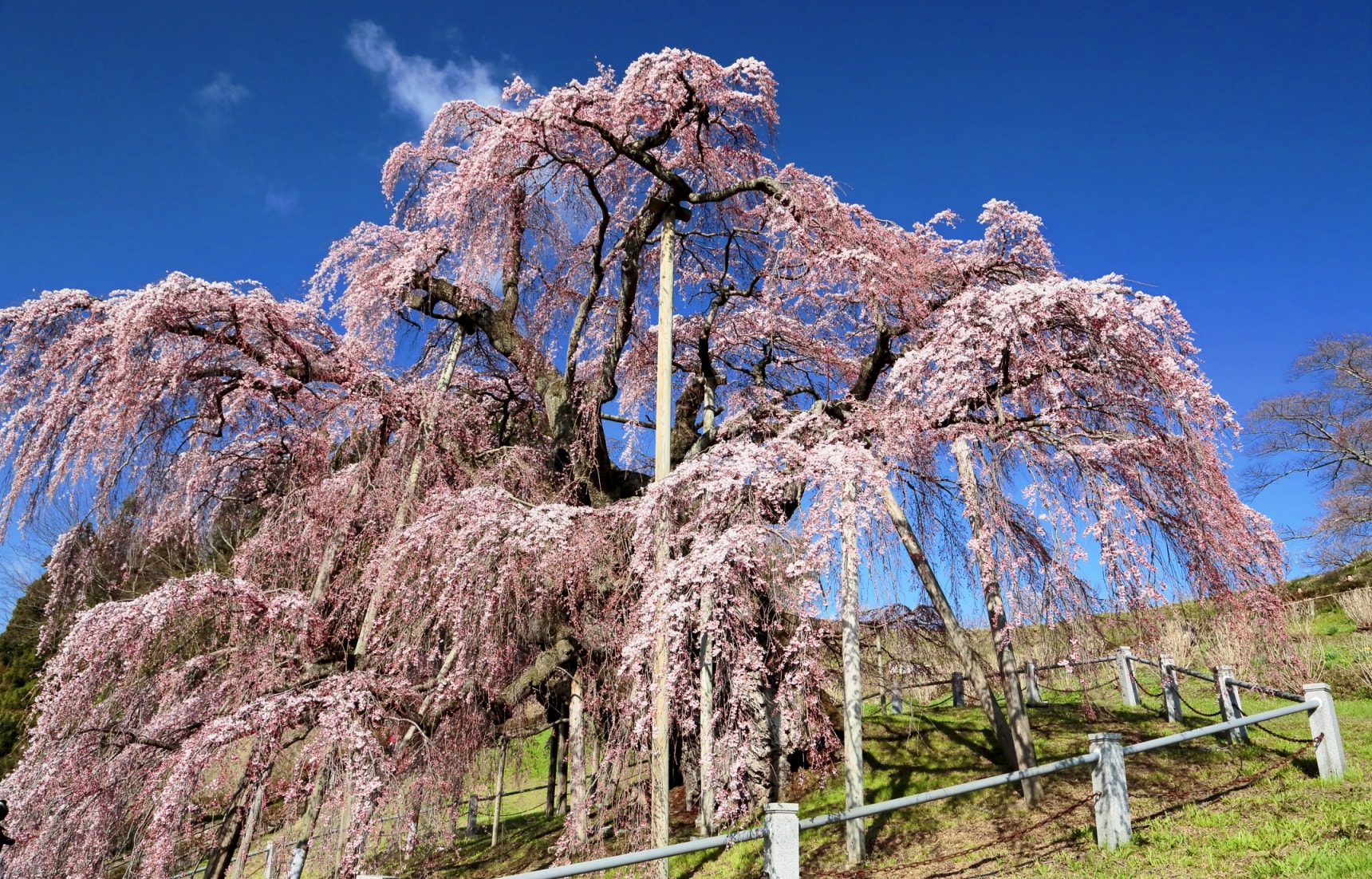 The 3 Great Cherry Trees of Japan