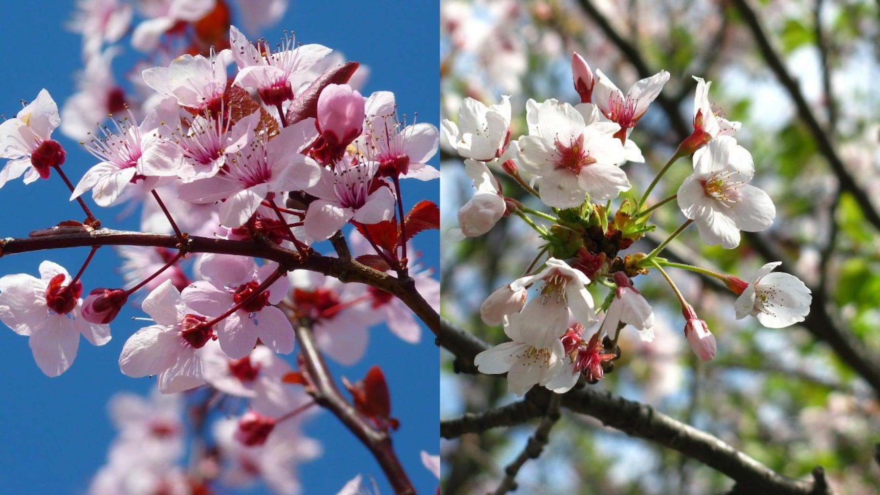 Cherry or Plum Blossom?