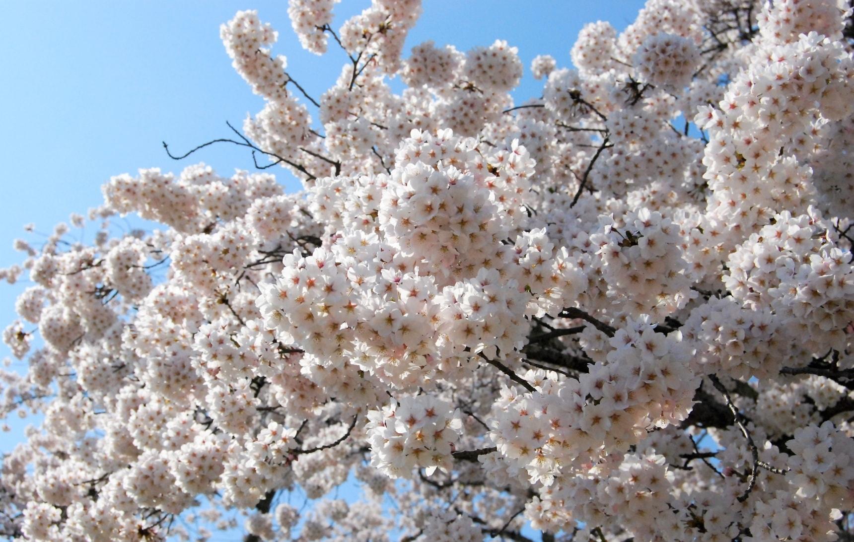 Tohoku's Late-Blooming Sakura Wonderland