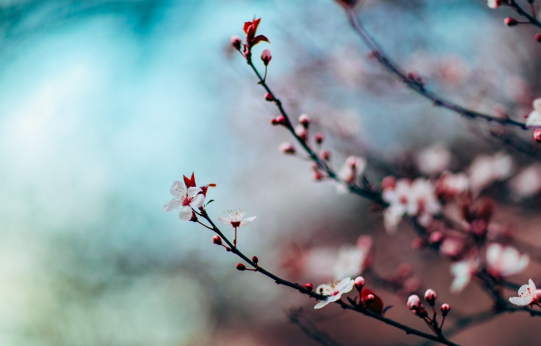 Cherish the Cherry Blossoms With This Playlist