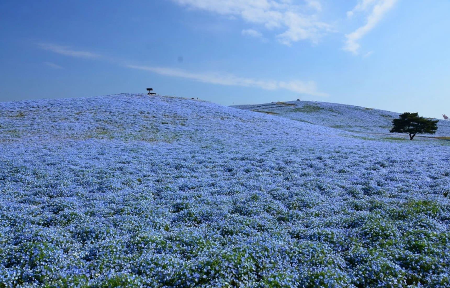 4.5 Million Flowers Keep This Park Blue