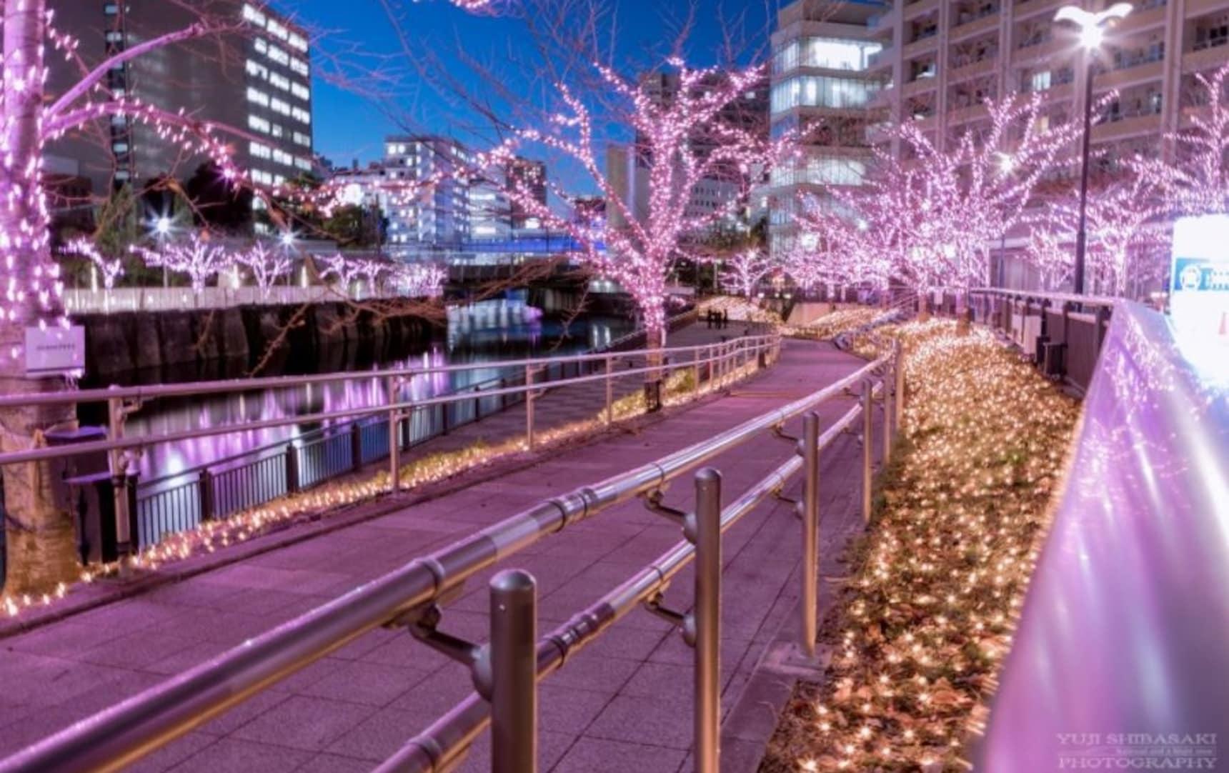 Catch a Glimpse of 'Sakura' in the Winter