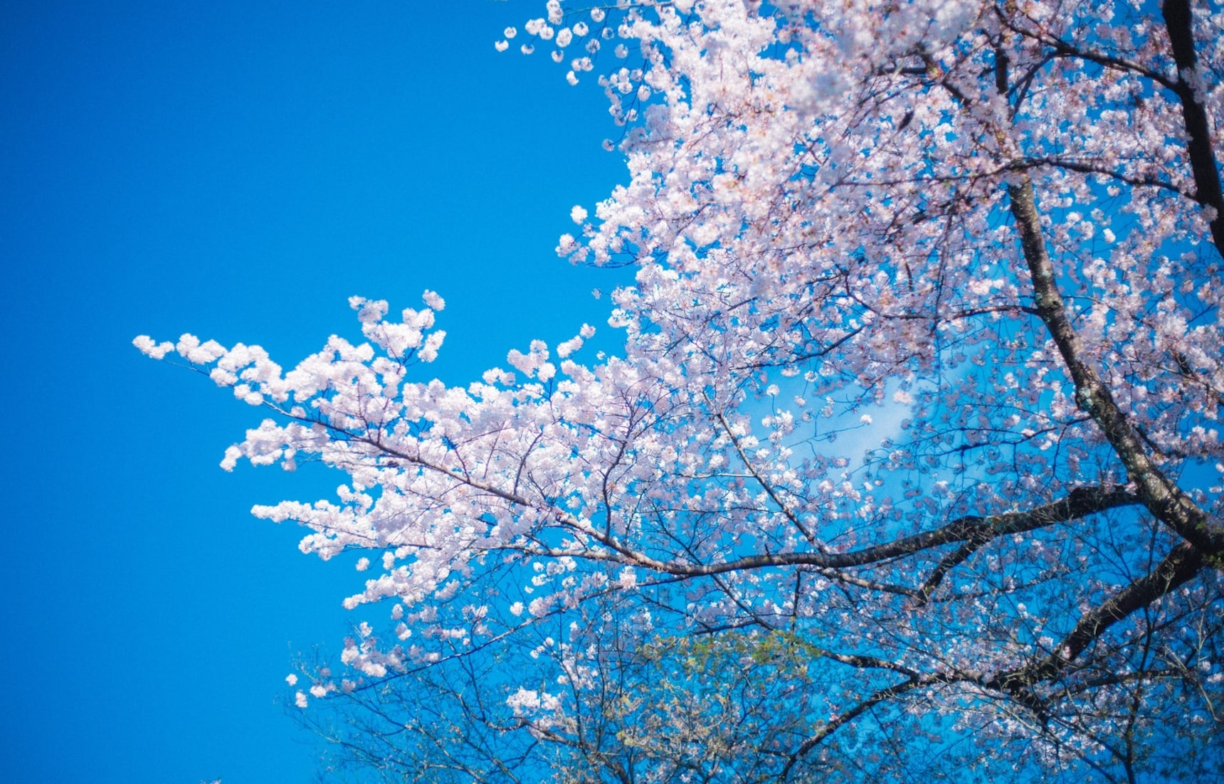 The Cherry Blossom Forecast for 2018 Is Here