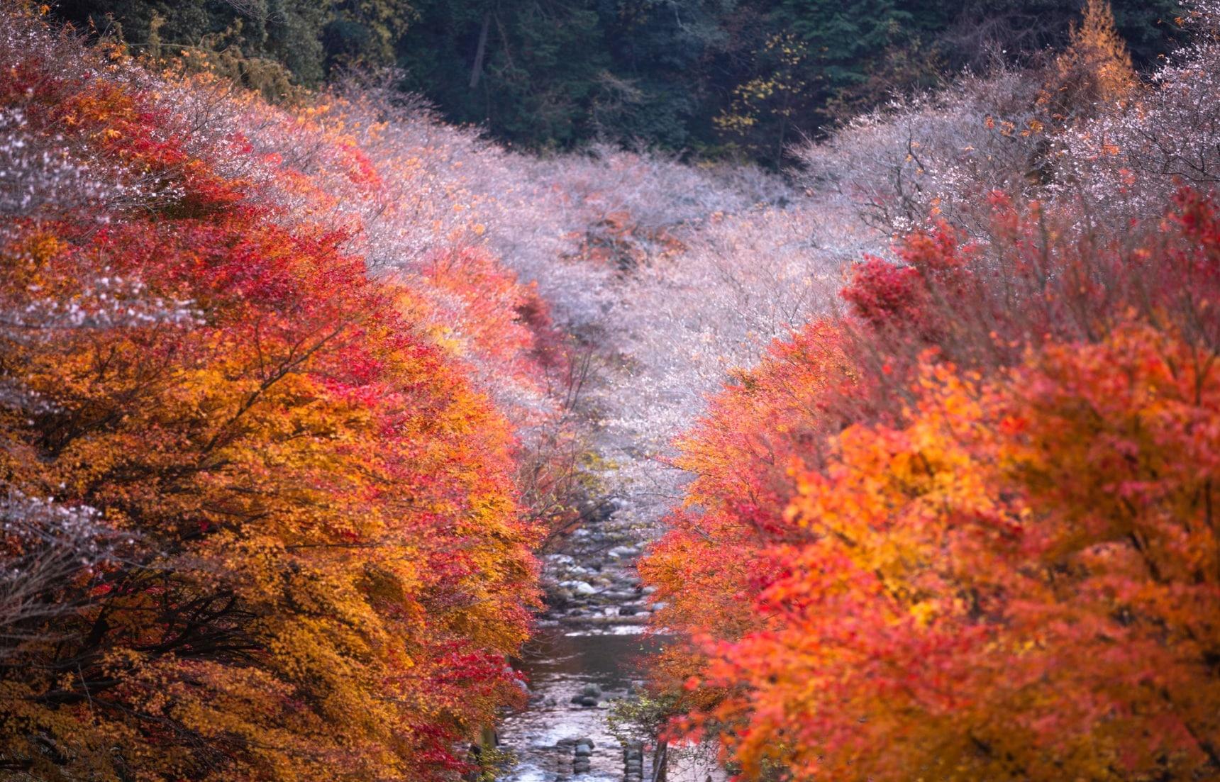 ชมซากุระพร้อมใบไม้แดงในญี่ปุ่น!